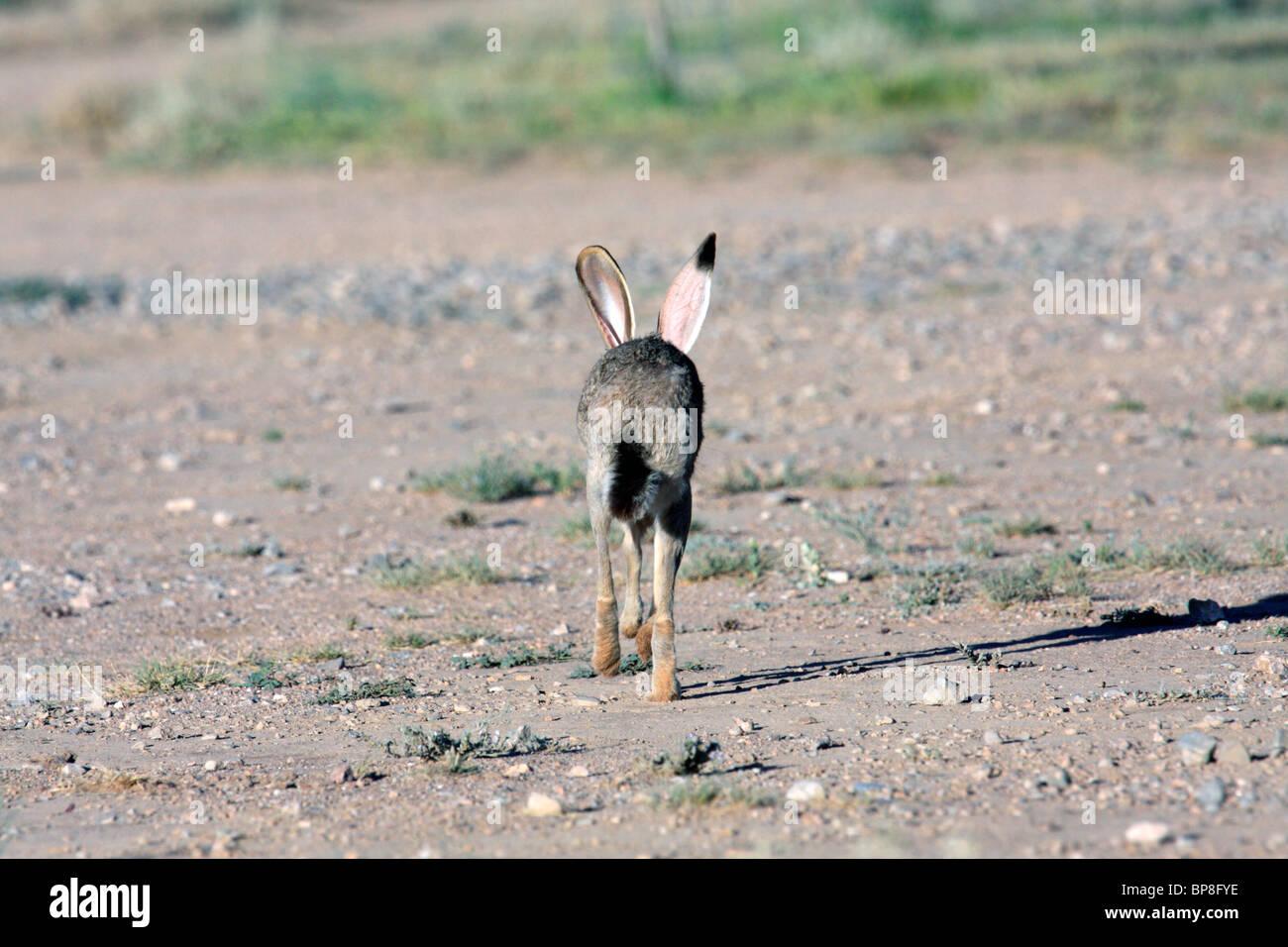 Jack Rabbit Usa >> Black Tailed Jackrabbit Or Desert Hare Lepus Californicus Stock