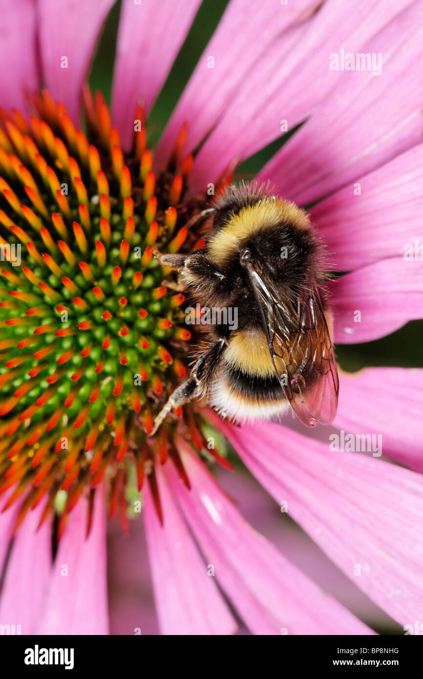 A Cuckoo Bee, Bombus sylvestris, feeding on a purple coneflower, Echinacea purpurea - Stock Image