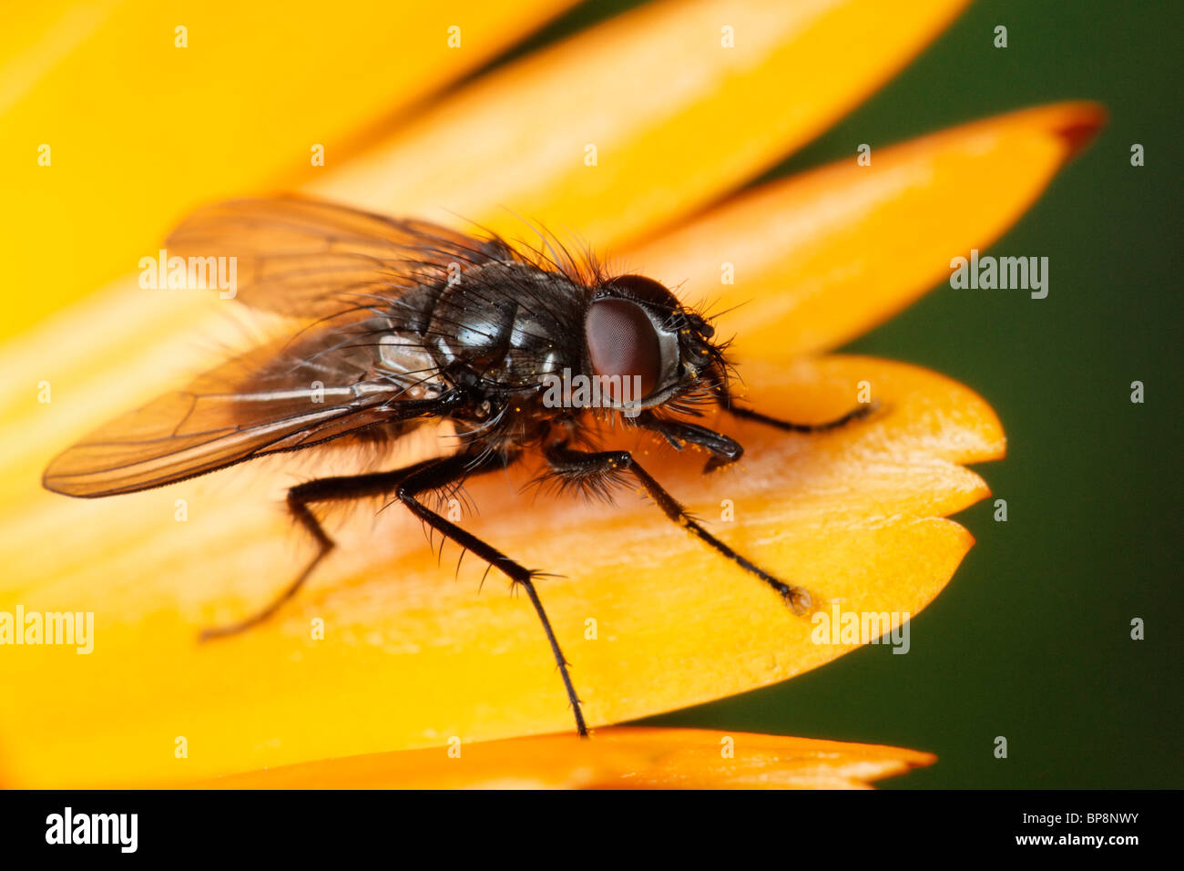 Fly on a Marigold flower. Stock Photo