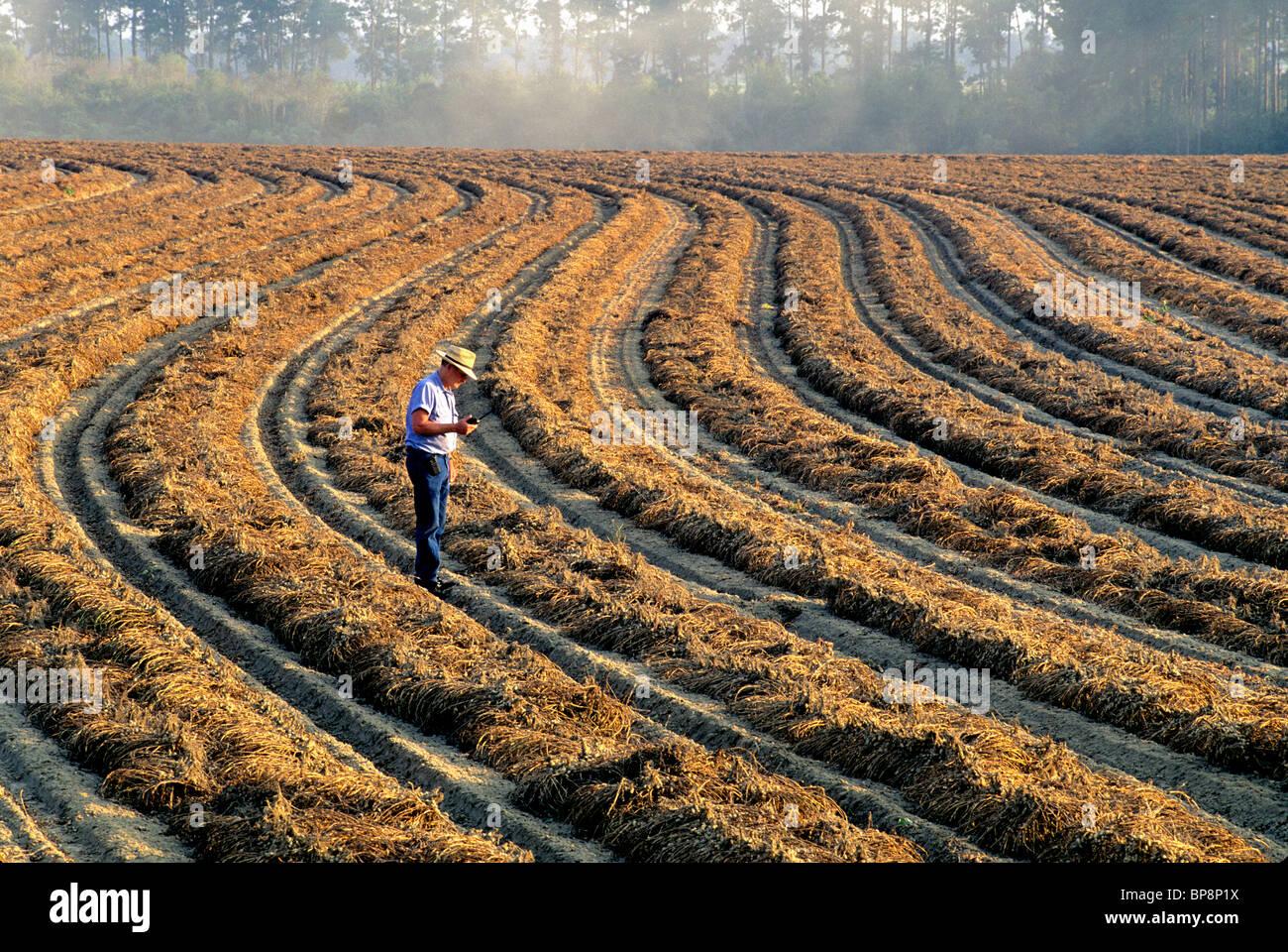 Peanut harvest, inverted contoured rows. - Stock Image