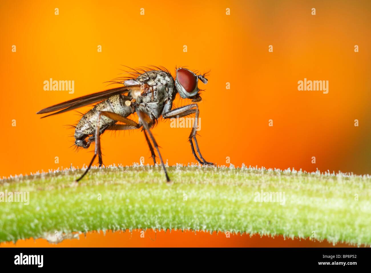 Fly on a Marigold stem. Diptera. Anthomyiidae, Hydrophoria linogrisea Stock Photo