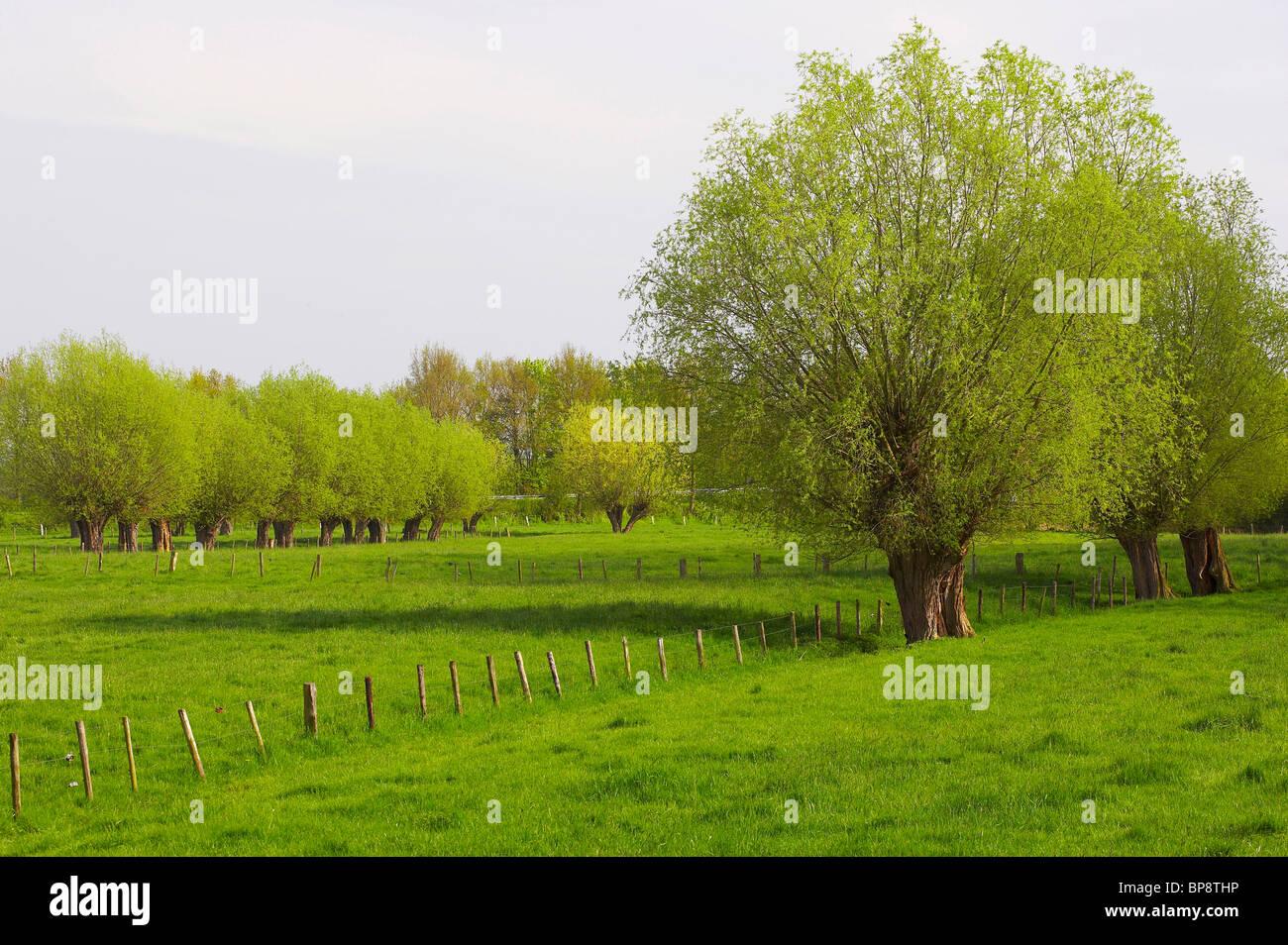 spring, osiers near Kalkar, Niederrhein, North Rhine-Westphalia, Germany, Europe - Stock Image