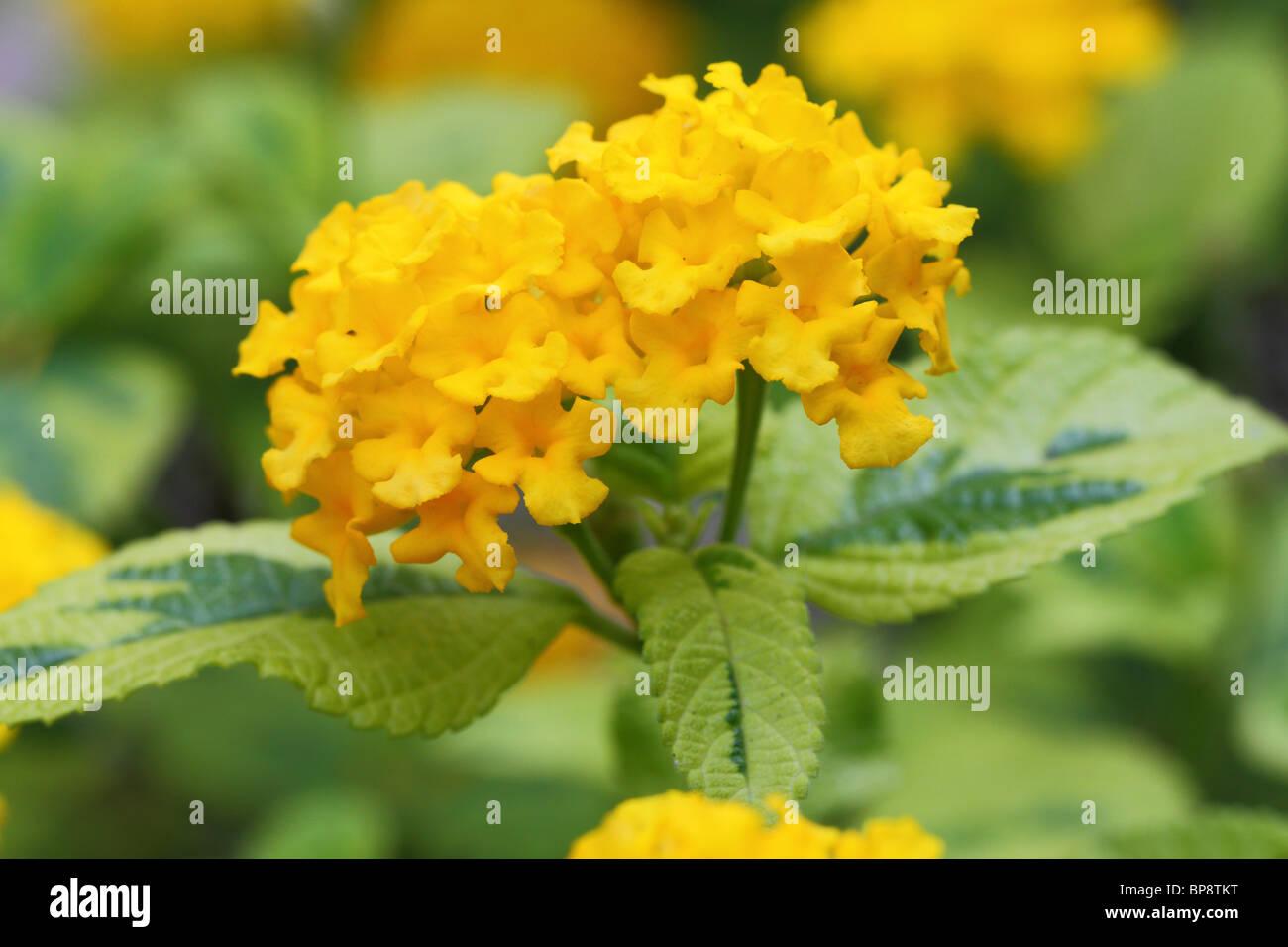 Lantana camara yellow flowers close up - Stock Image