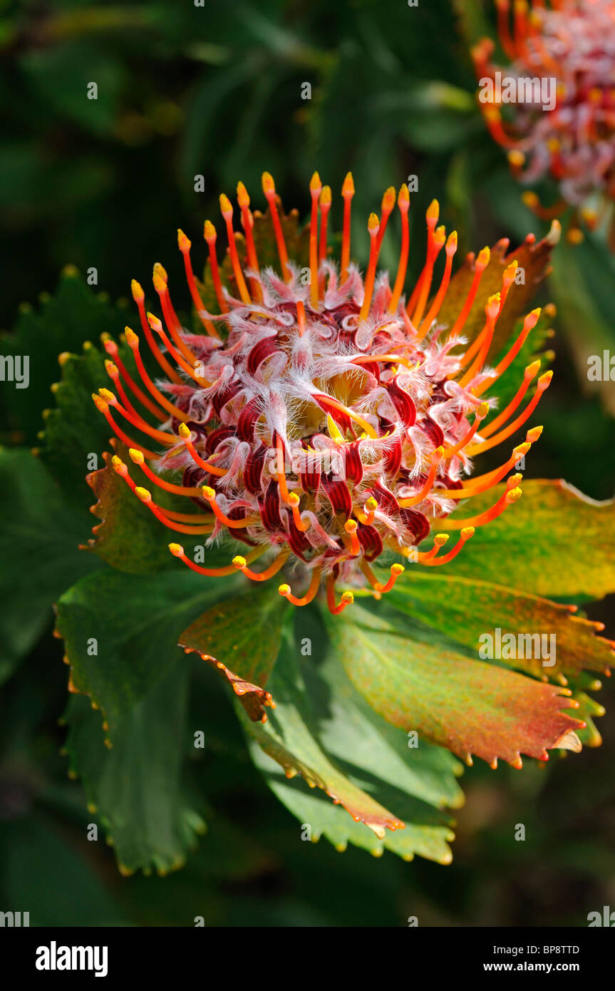 Leucospermum glabrum, Cape Floral Kingdom, South Africa Stock Photo