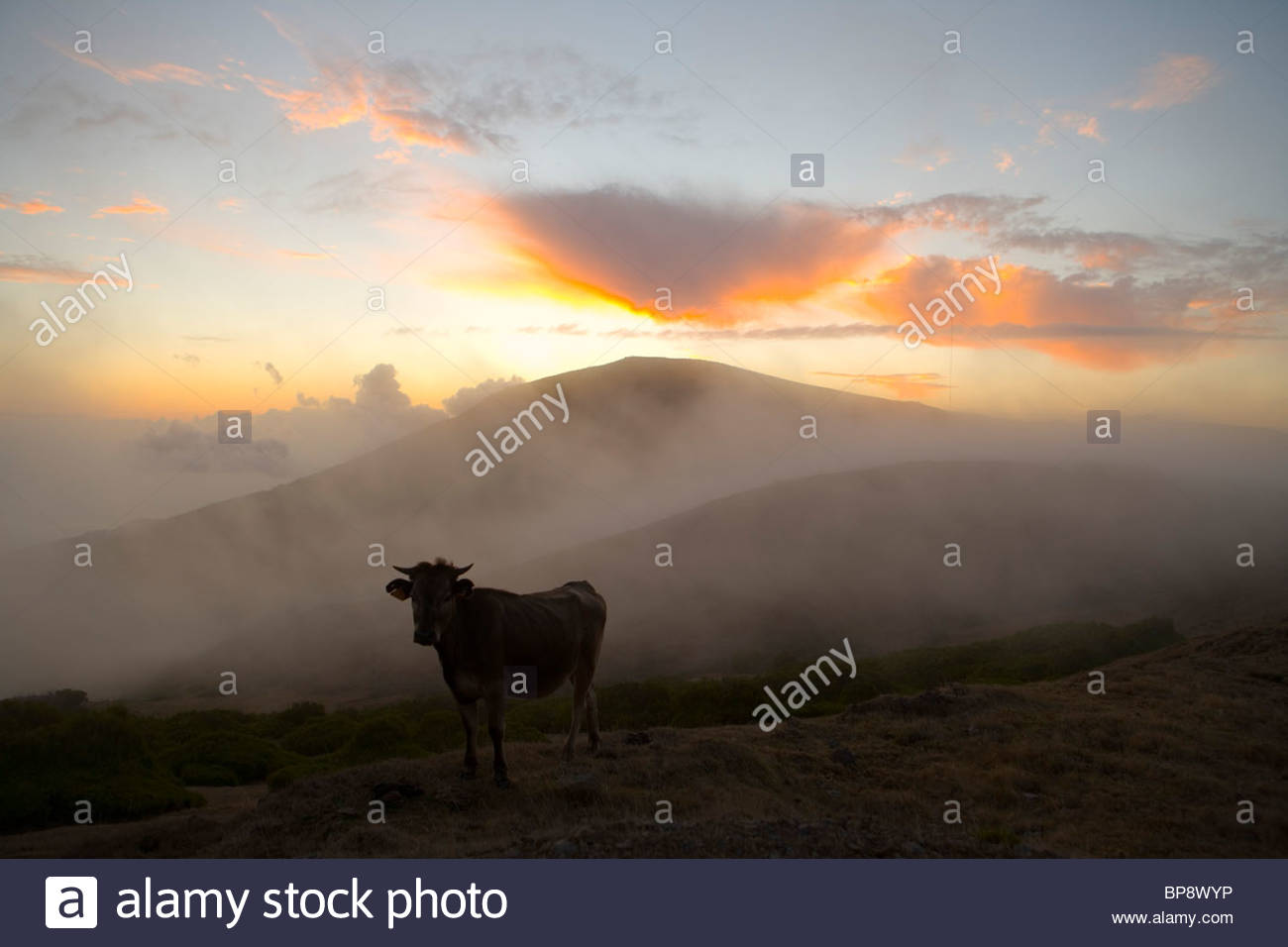 Where's The Beef ?, Cow surrounded by mist at sunset, near Rabacal, Paul da Serra Plateau, Madeira, Portugal - Stock Image