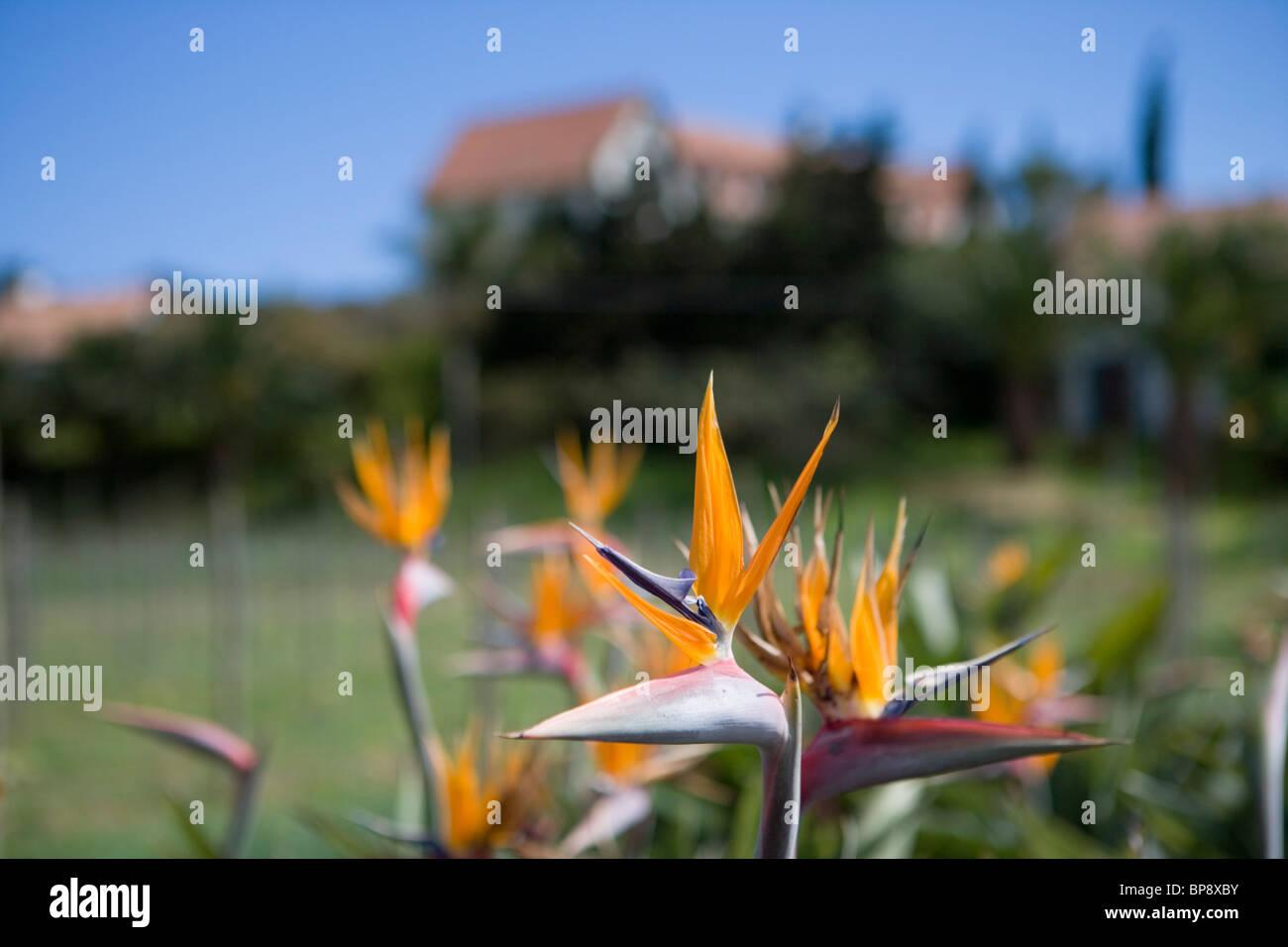 Bird of Paradise Flowers, Strelitzia reginae at Quinta do Furao Hotel, Santana, Madeira, Portugal - Stock Image