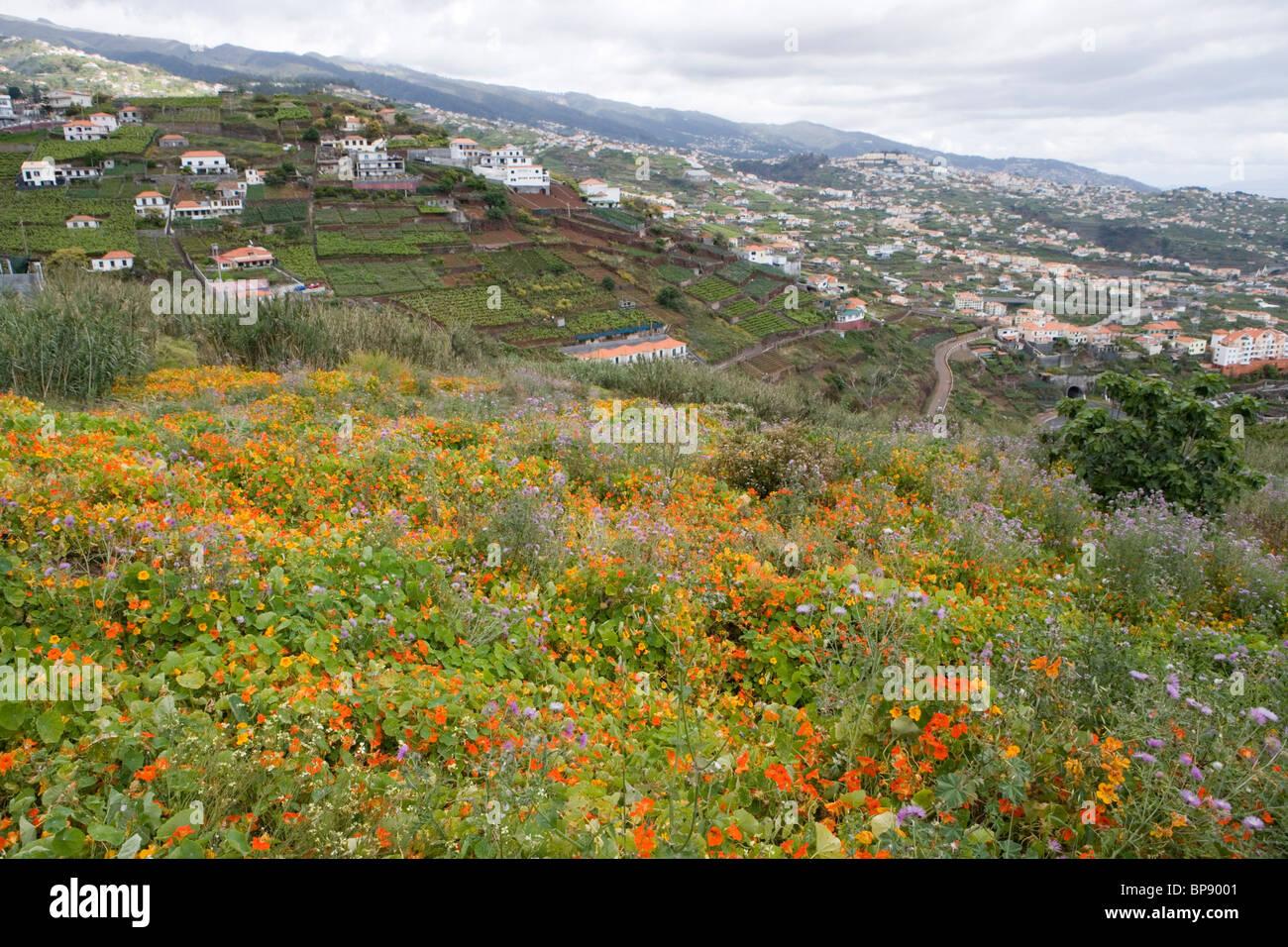Magnificent nasturtium field, Estreito de Camara de Lobos, Madeira, Portugal Stock Photo