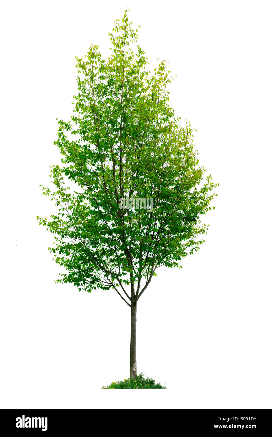 Single young tree with green leaves isolated on white background Stock Photo