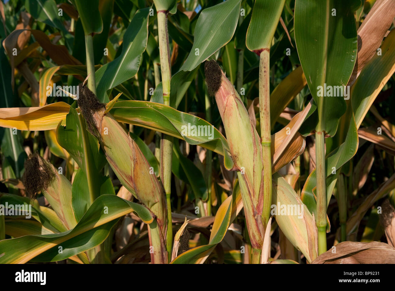 Ripened Corn Michigan USA mid August - Stock Image