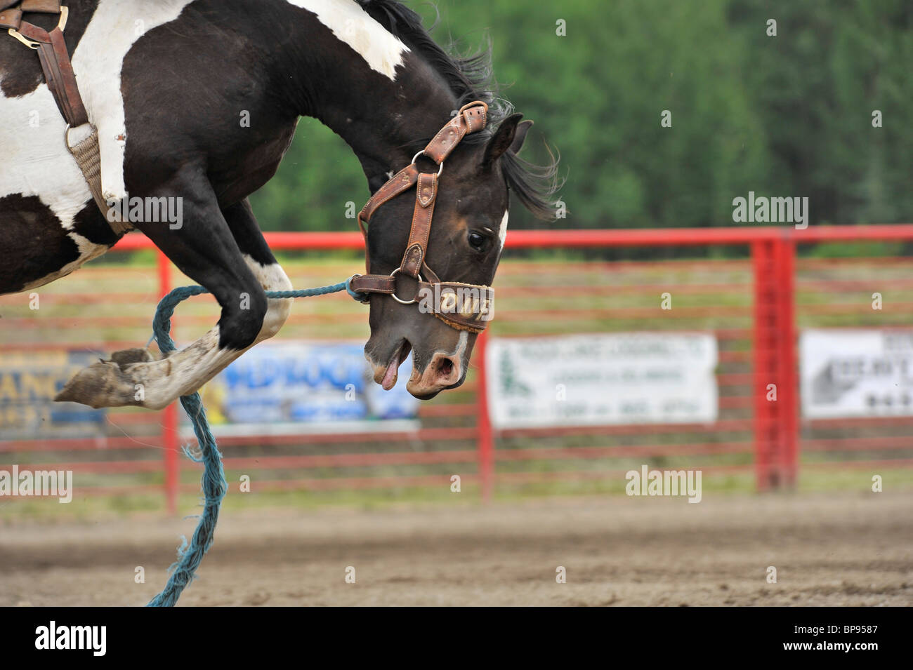 A close up of a bucking horse - Stock Image