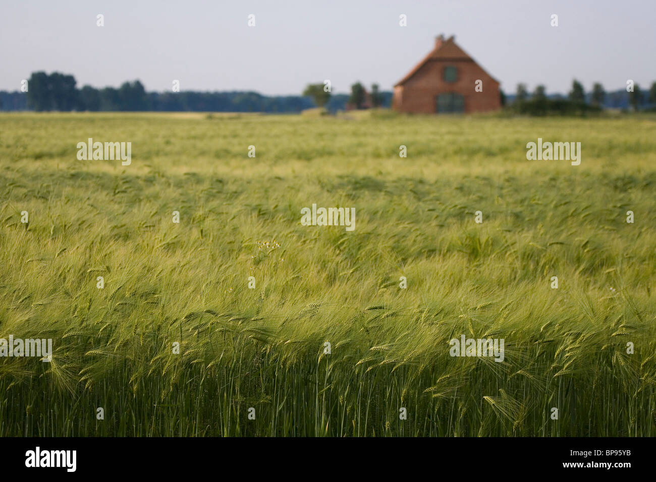fields of grain, barley, barn, northern Germany - Stock Image