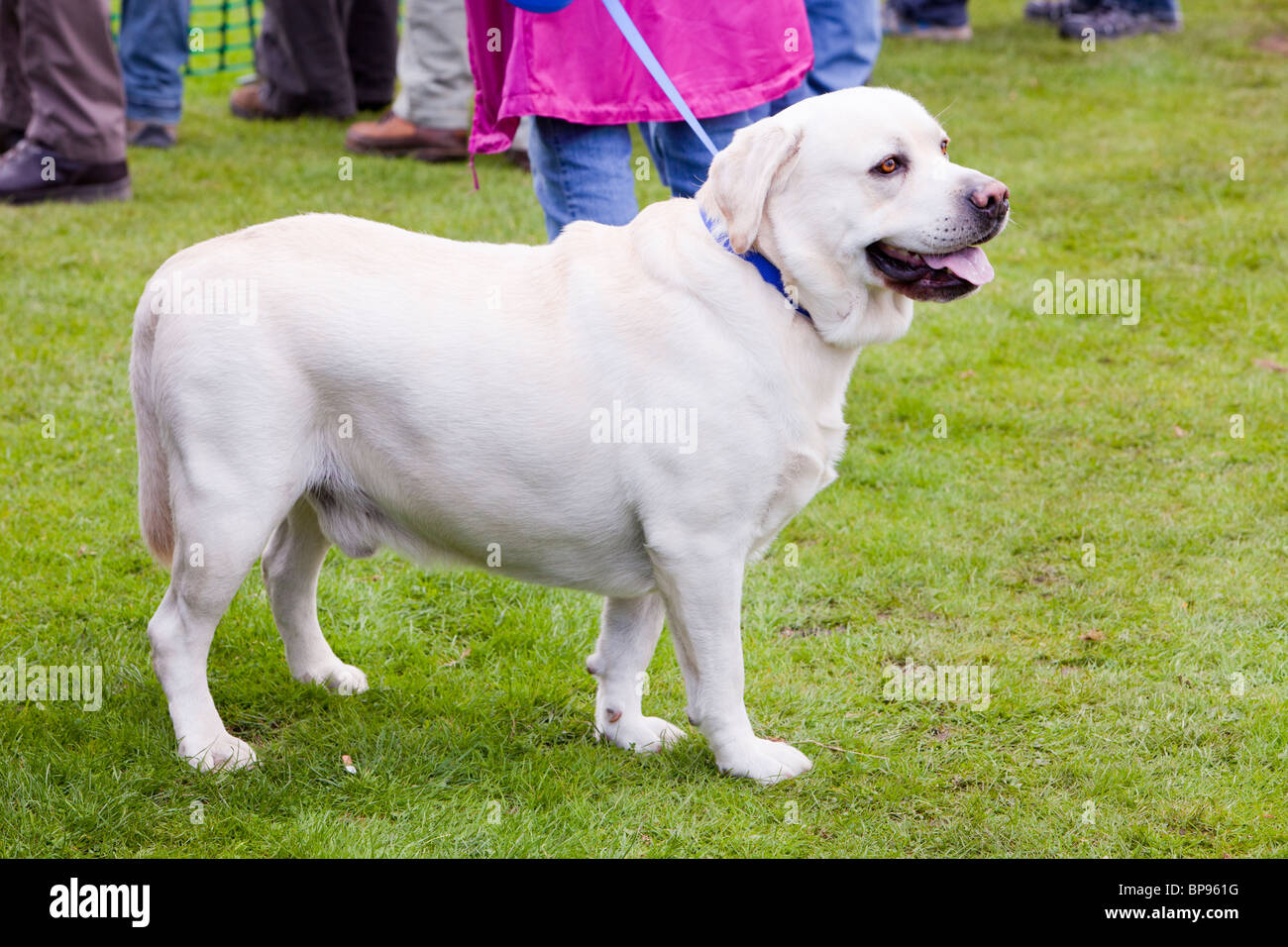Fat Labrador High Resolution Stock Photography And Images Alamy