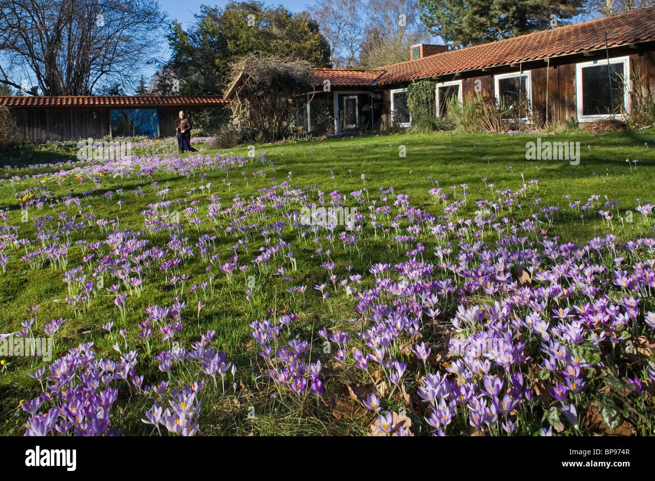 crocus flowers, garden, lawn Stock Photo