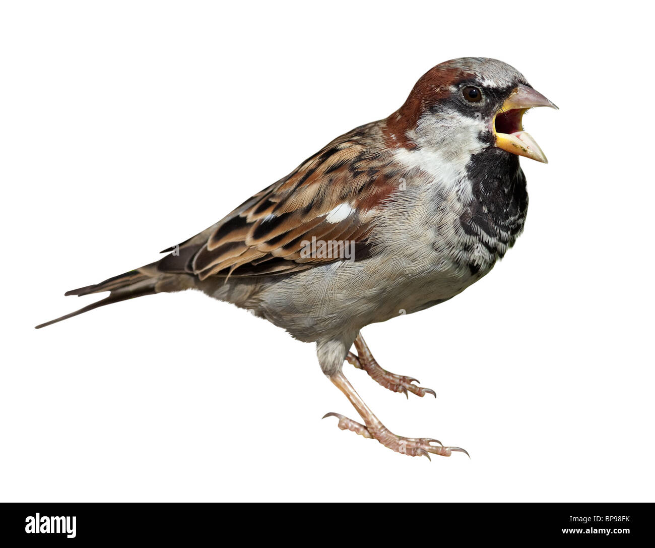 Male in front of white background, isolated. House Sparrow (Passer domesticus) - Stock Image