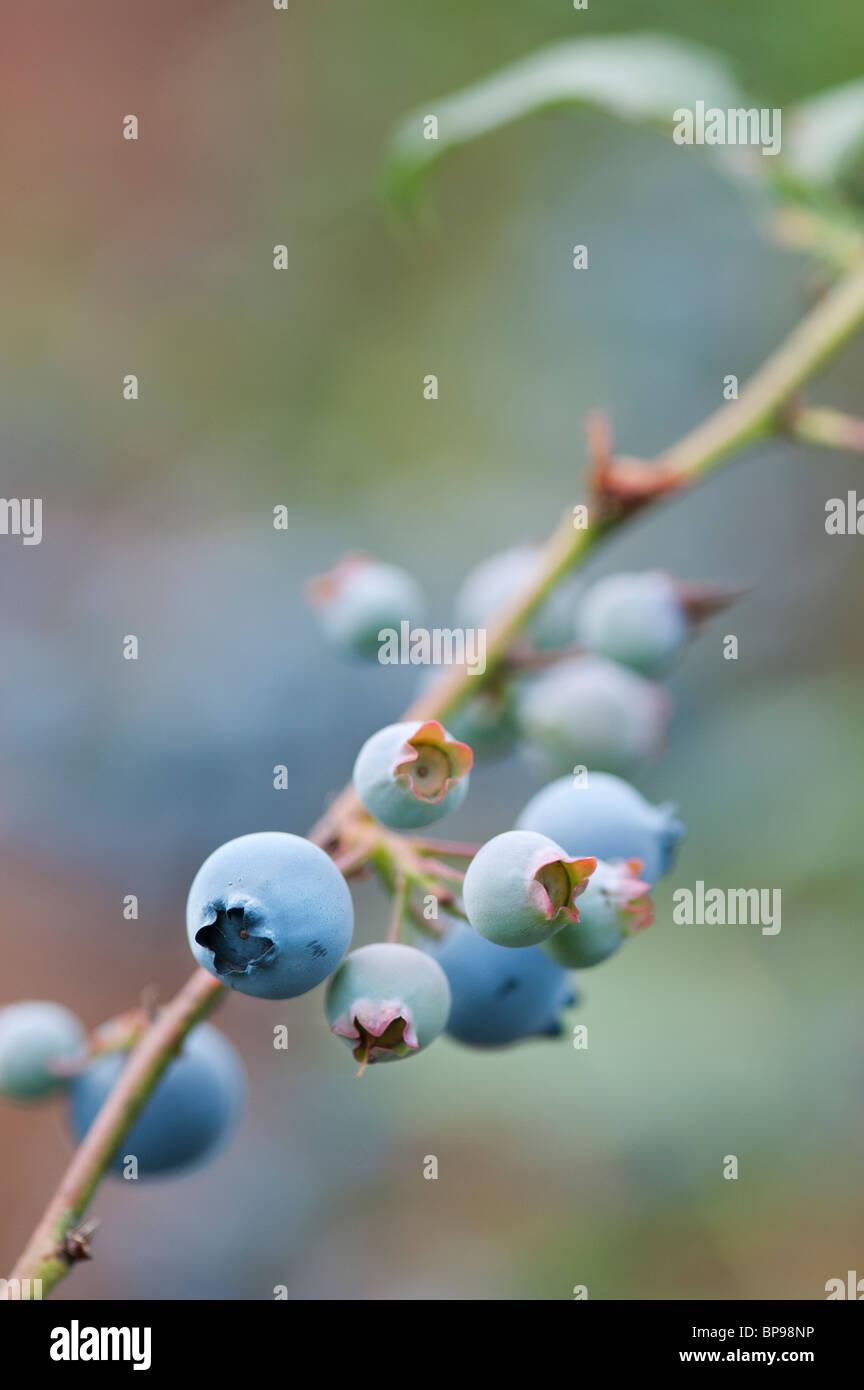 Vaccinium corymbosum. Blueberry 'Jersey' fruit on a bush - Stock Image
