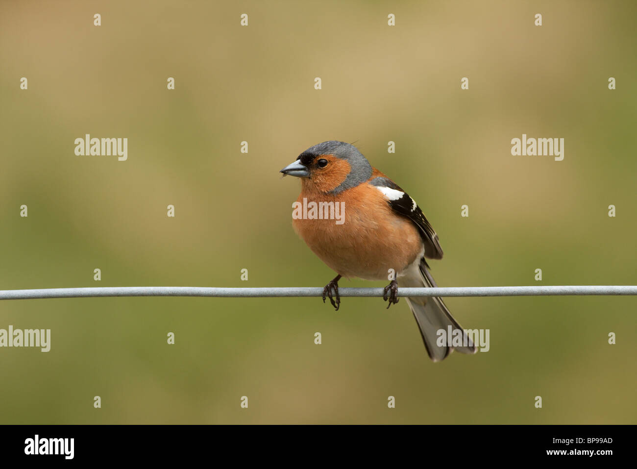 A male chaffinch sitting on a single strand of wire. - Stock Image