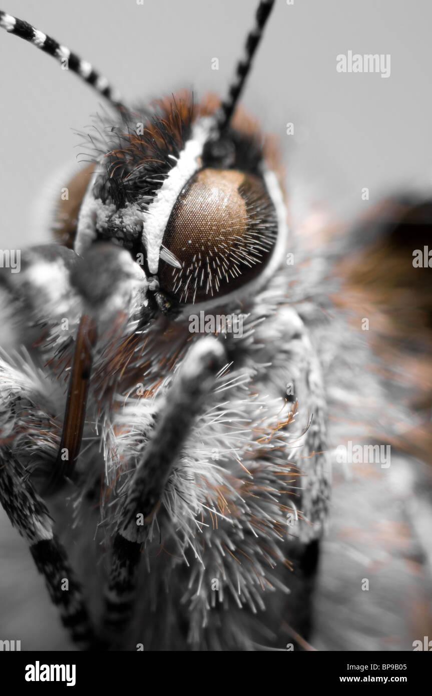 Macro shot of a Juniper Hairstreak butterfly Stock Photo