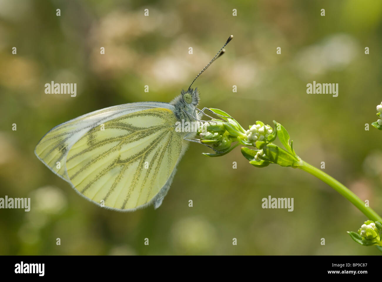 Green-veined white butterfly (Pieris napi) - Stock Image
