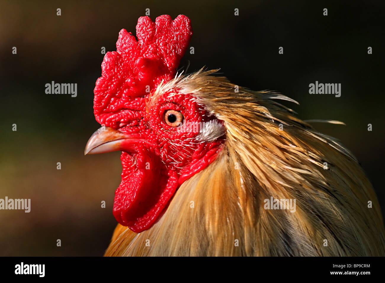 Cockerel Rhode Island Red chicken Gallus gallus domesticus - Stock Image