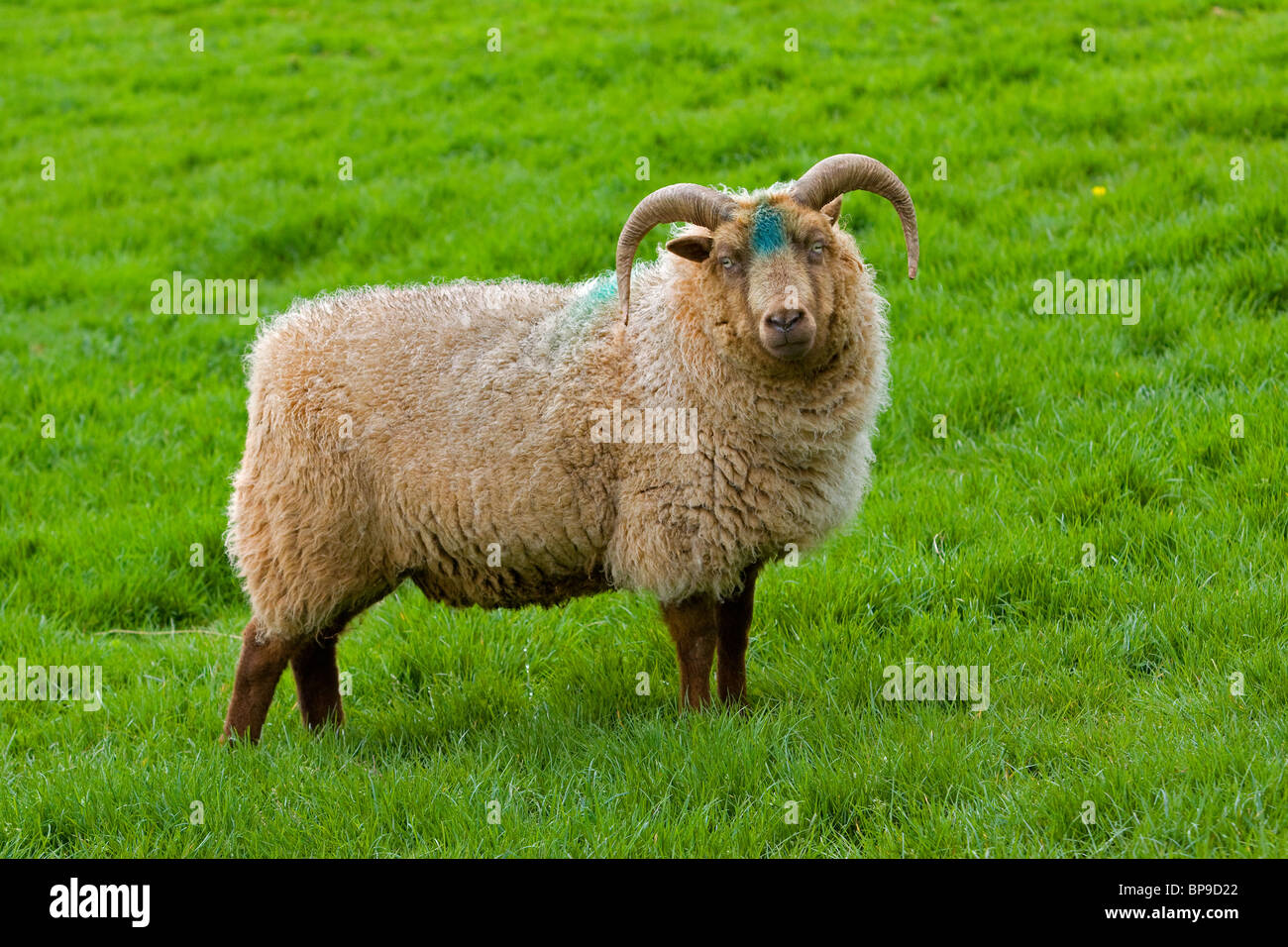 Manx Loghtan Loaghtan Sheep Ovis aries - Stock Image