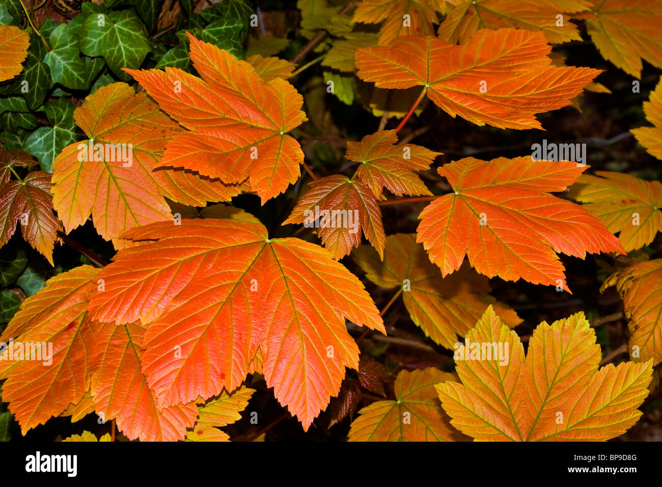 sycamore maple leaves autumn colours - Stock Image