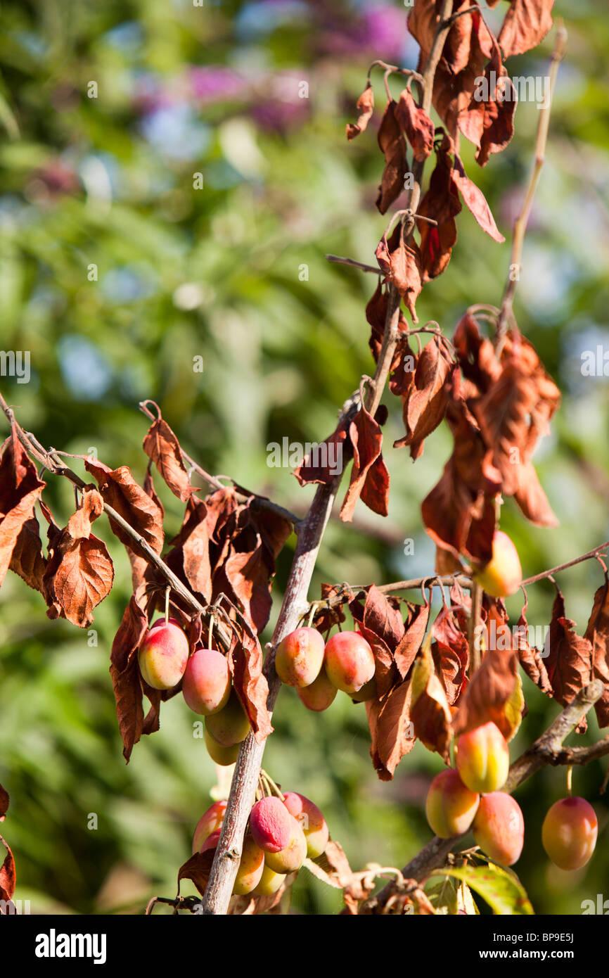 Ornamental Plum Tree Diseases Pictures