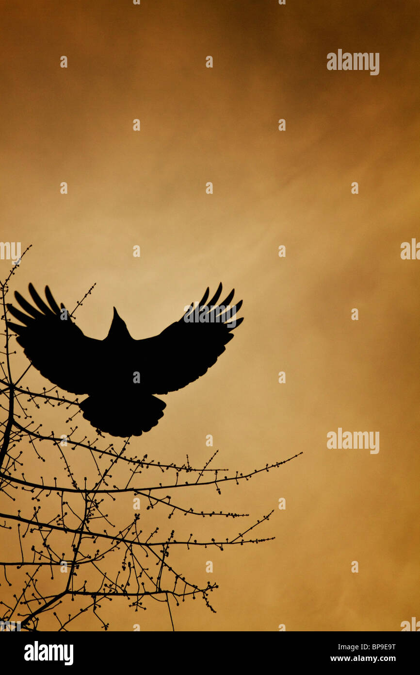 vancouver, british columbia, canada; a crow flies by a tree under a sunset sky - Stock Image
