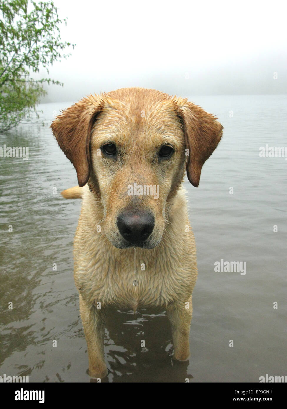 portrait of yellow Labrador retriever standing in lake - Stock Image