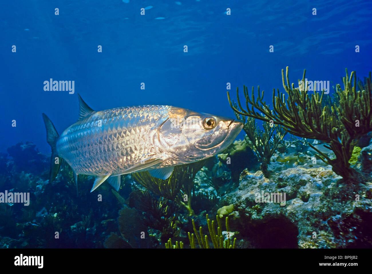 Atlantic tarpon, Megalops atlanticus, swimming over a coral reef in the Florida Keys - Stock Image