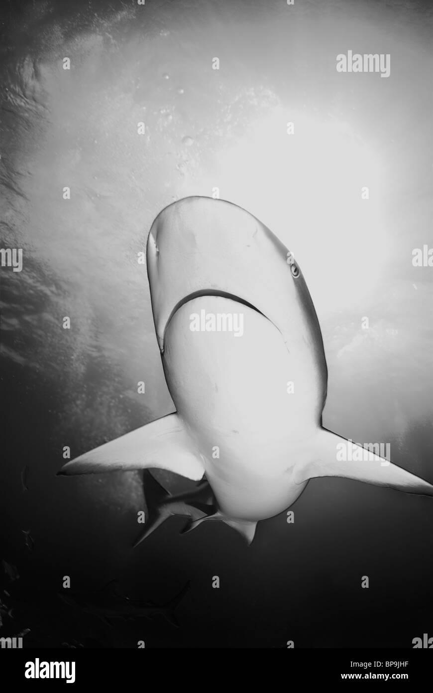 Caribbean Reef Shark Carcharhinus Perezi Stock Photos