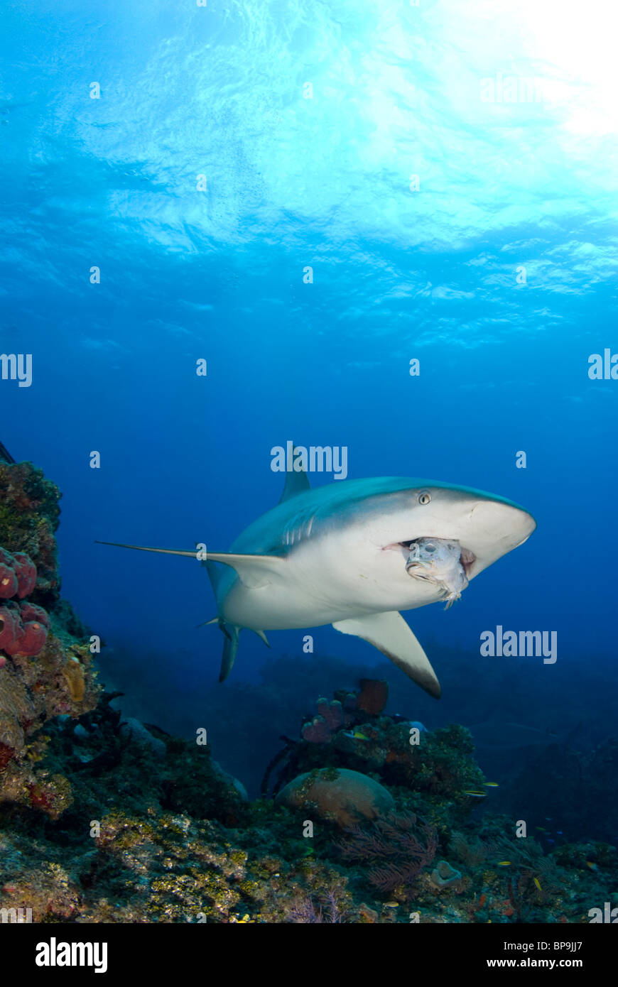 Caribbean Reef Shark swims by in the Bahamas Stock Photo