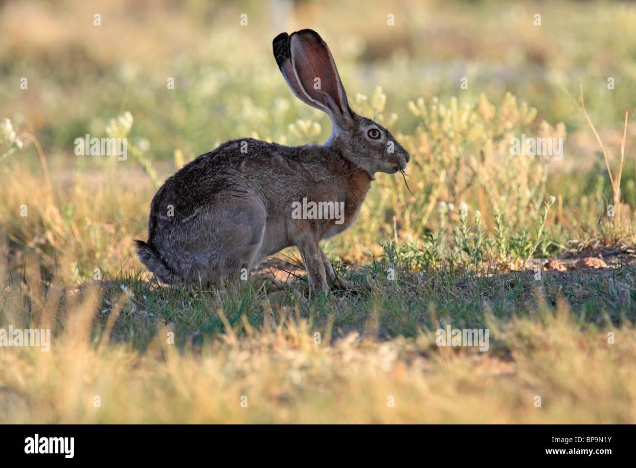 Jack Rabbit Usa >> Black Tailed Jackrabbit Or Desert Hare Lepus Californicus Arizona