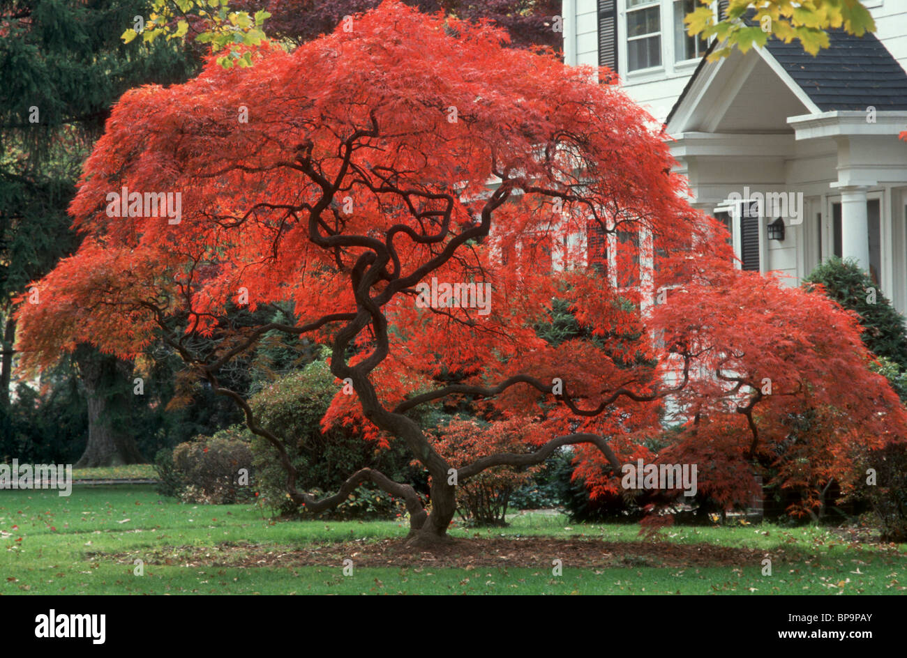 Fall Foliage Japanese Maple Tree In Blazing Red Color