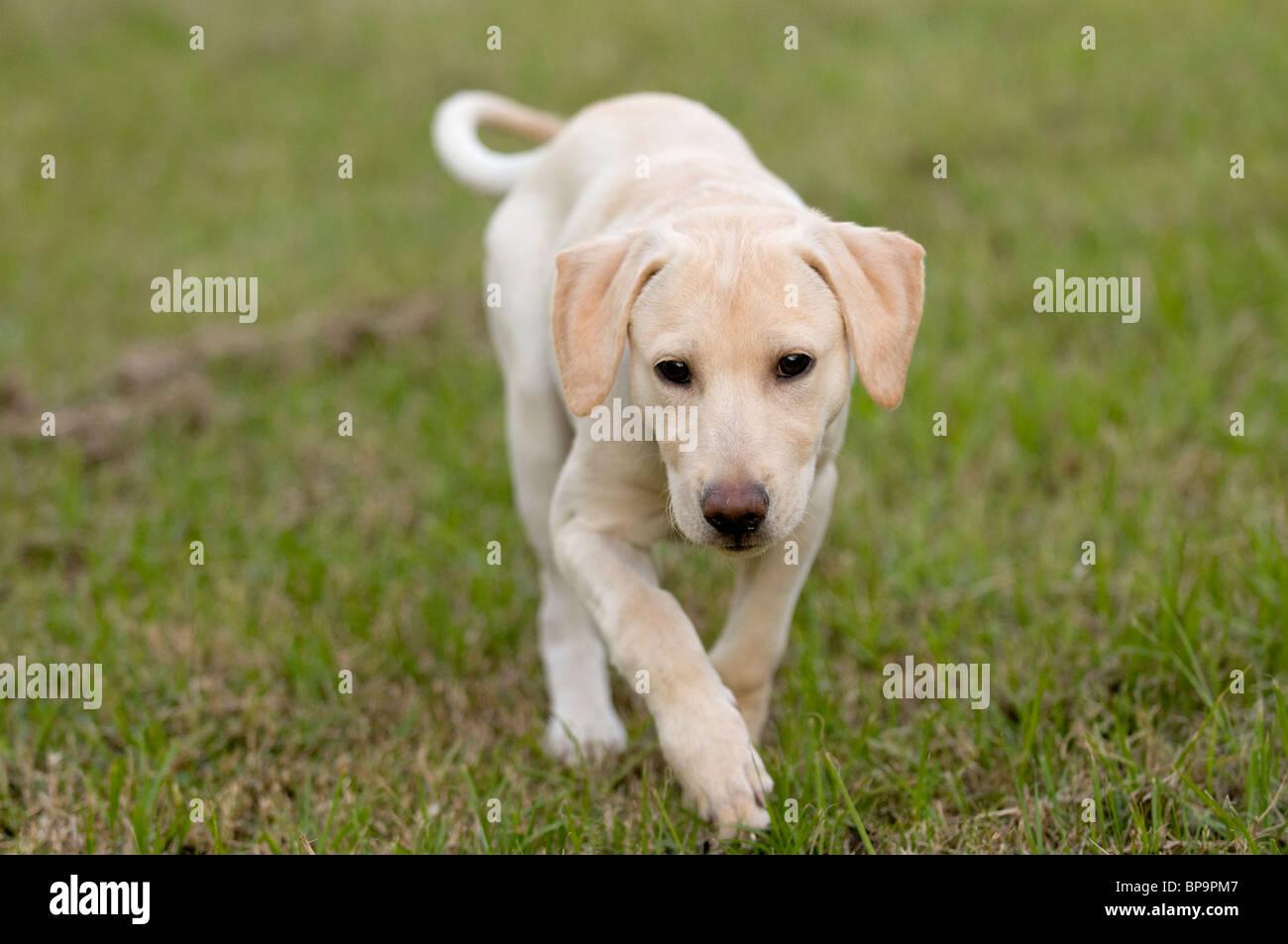 Labrador puppy dog - Stock Image