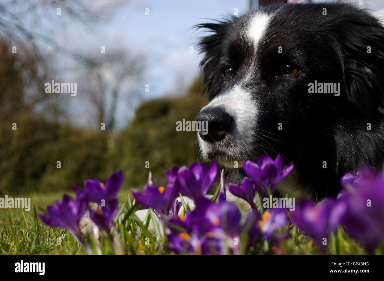 border collie in crocuses Stock Photo