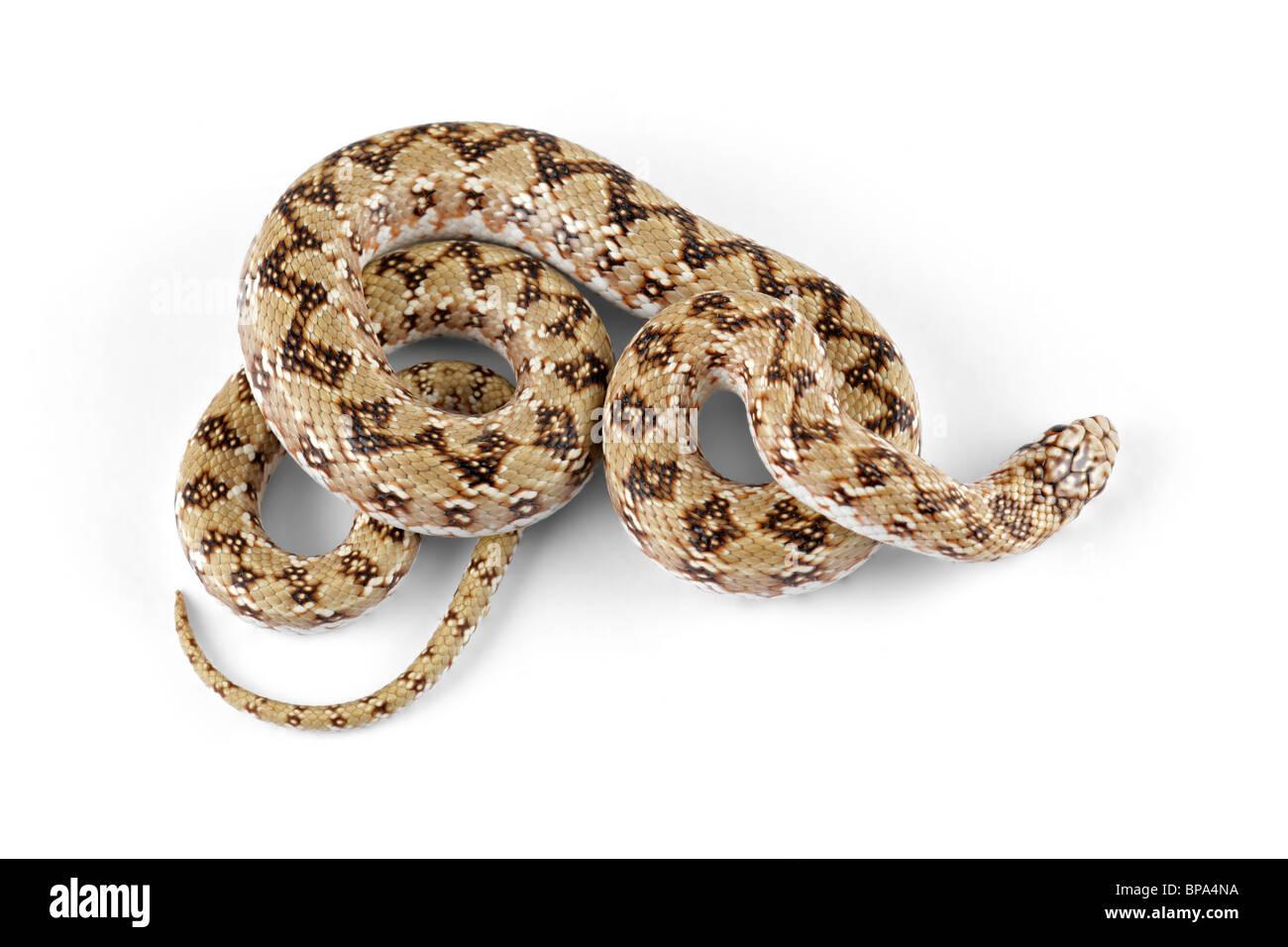 Dwarf beaked snake (Dipsina multimaculata) on white - Stock Image