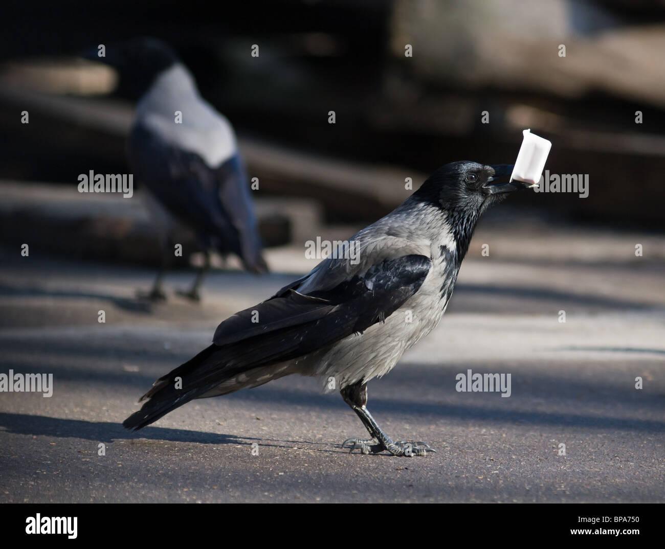 Crow Bird Funny Stock Photos Crow Bird Funny Stock Images Alamy