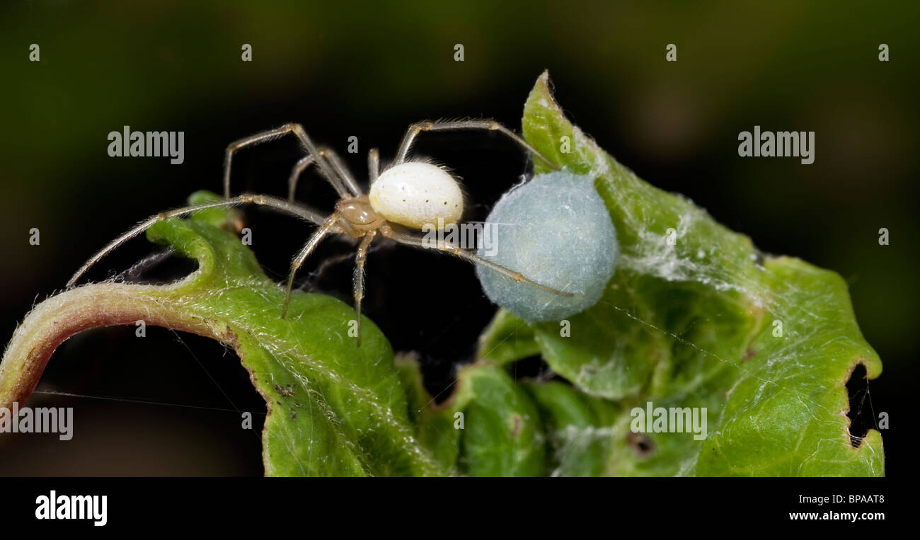 Female comb footed spider, Enoplognatha ovata,  tending its bluish egg sac which is concealed in a rolled up leaf, - Stock Image