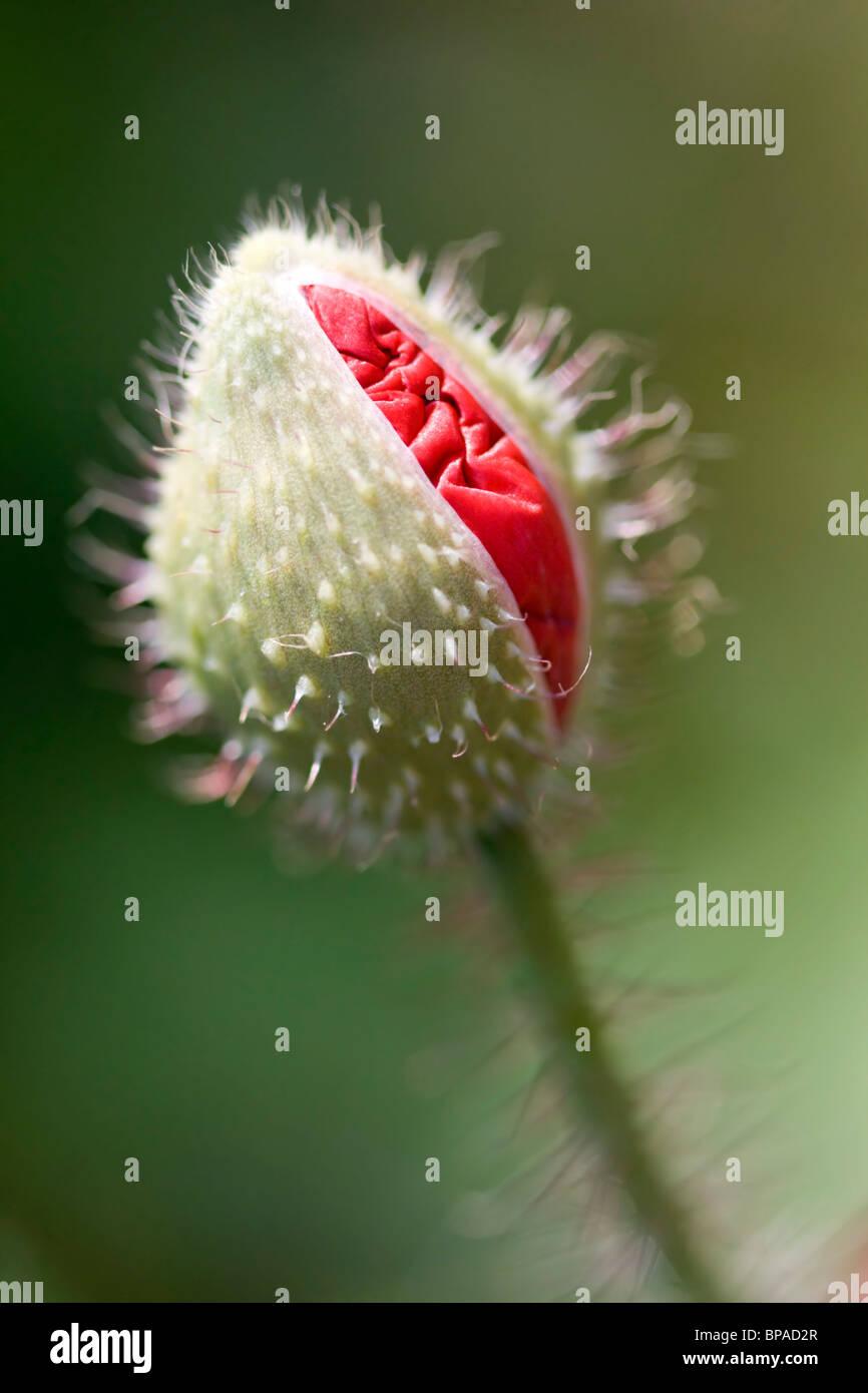 Poppy bud - Stock Image