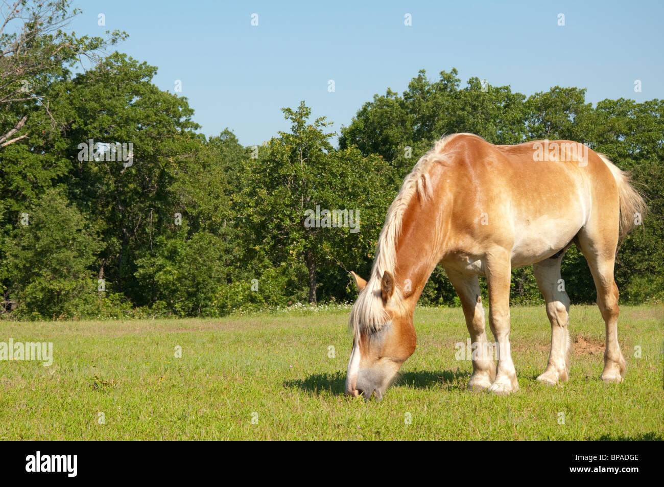 Belgian Draft Horse grazing - Stock Image