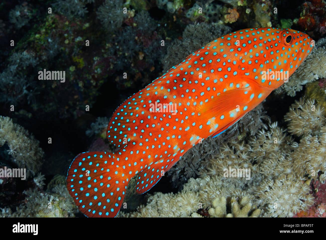 Coral Grouper Fish Scientific Name Stock Photos & Coral Grouper Fish ...