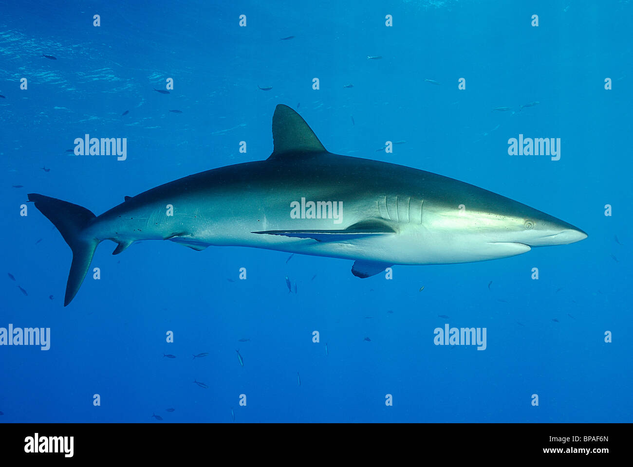 Silky shark swimming off Daedalus Reef, Red Sea, off coast of Egypt Stock Photo
