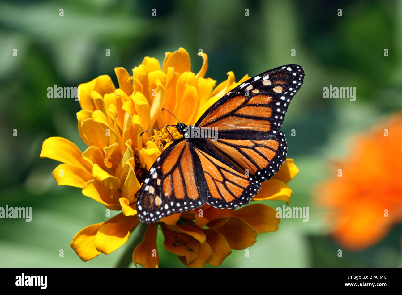 Monarch Butterfly, Danaus plexippus, with wings spread feeding at a yellow flower. - Stock Image