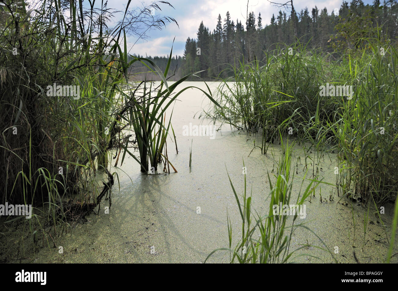 Bog on the Grey Owl trail, Prince Albert National Park. - Stock Image