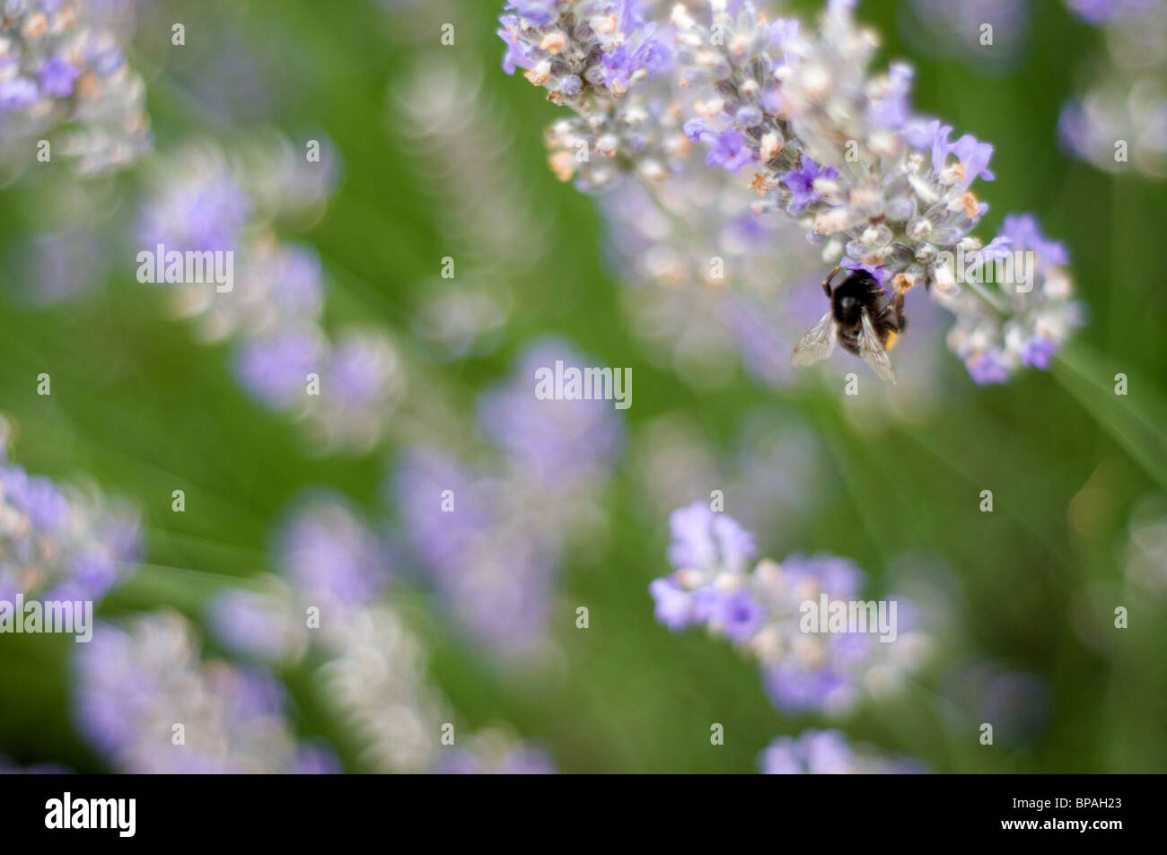A close-up of a bumble bee on a lavender flower. A shallow depth of field creating a blurred background - Stock Image