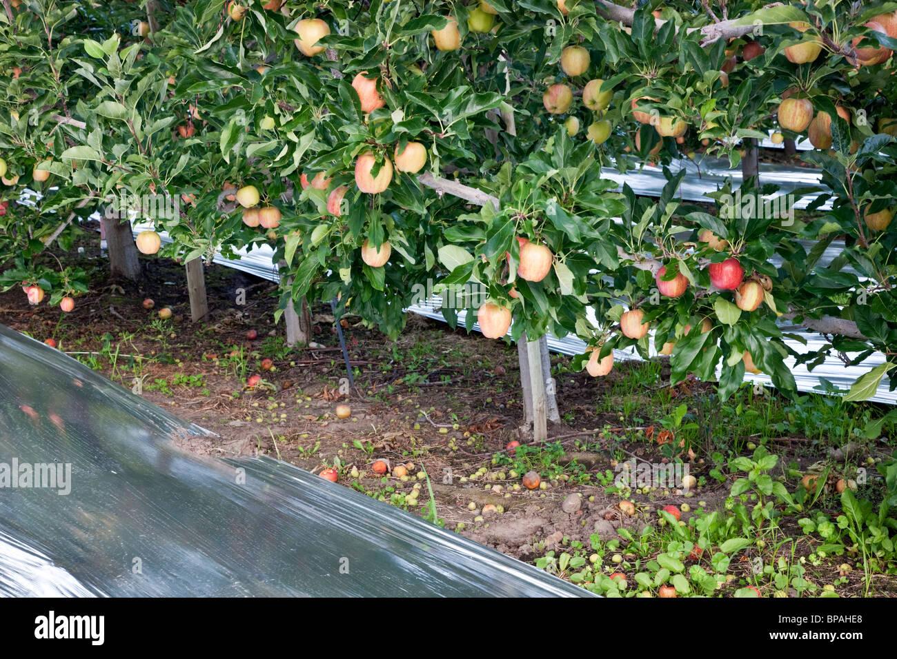 Apples  'Gala' , orchard. - Stock Image