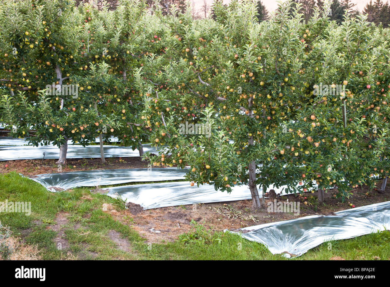 Apple orchard  'Gala' - Stock Image