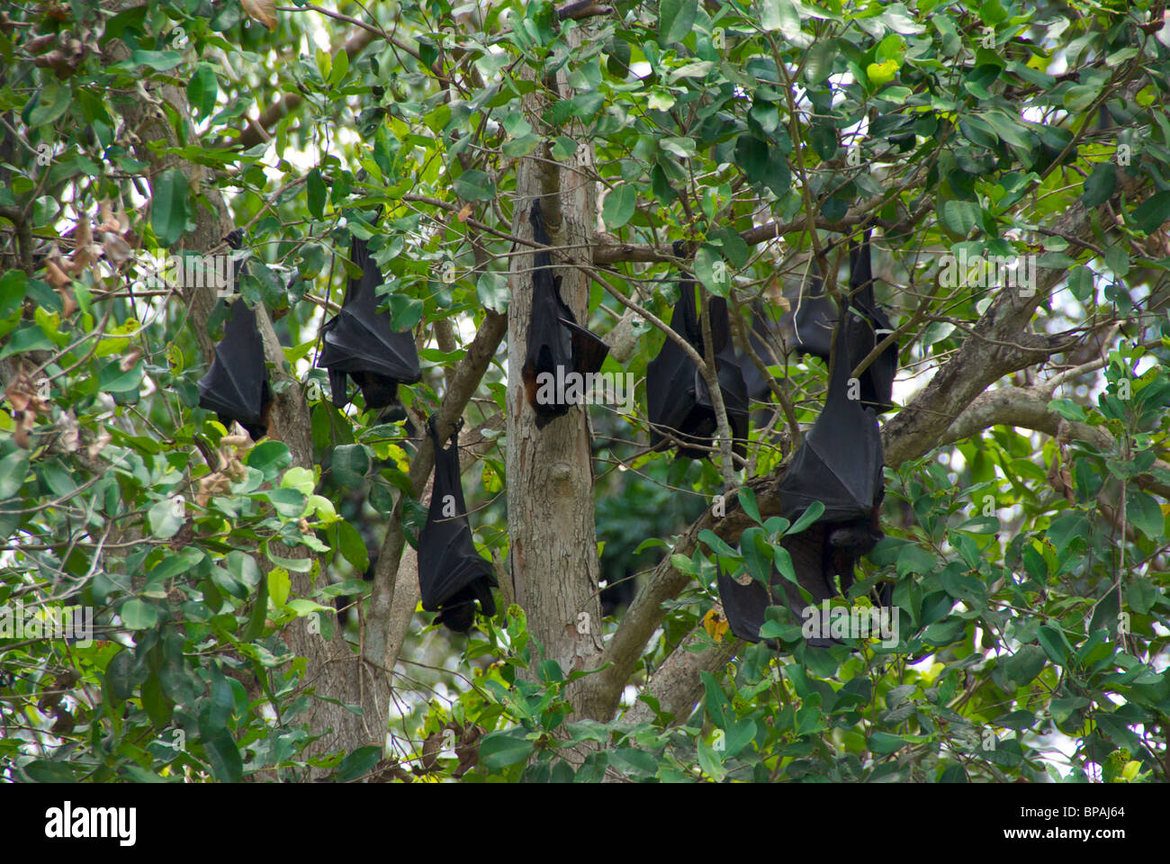 Black Flying Foxes (Pteropus alecto) resting upside-down by day at Wanji Falls, Litchfield National Park, Australia. Stock Photo