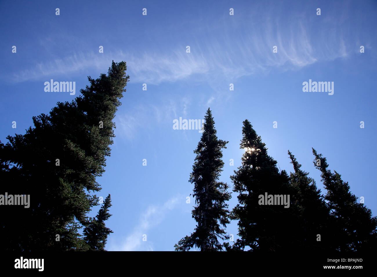 Fir trees and sun. Mount Rainier National Park, Washington. - Stock Image