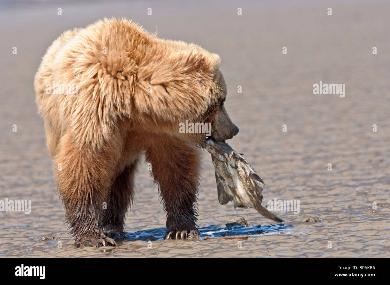 Stock photo of an Alaskan coastal brown bear picking up a flounder off the tidal flats, Lake Clark National Park, - Stock Image